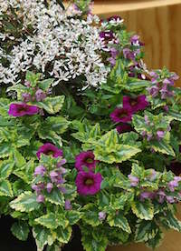 'Anne Greenaway' lamium, 'Cabaret Purple' calibrachoa and 'Breathless Blush' euphorbia combine well in this container garden.