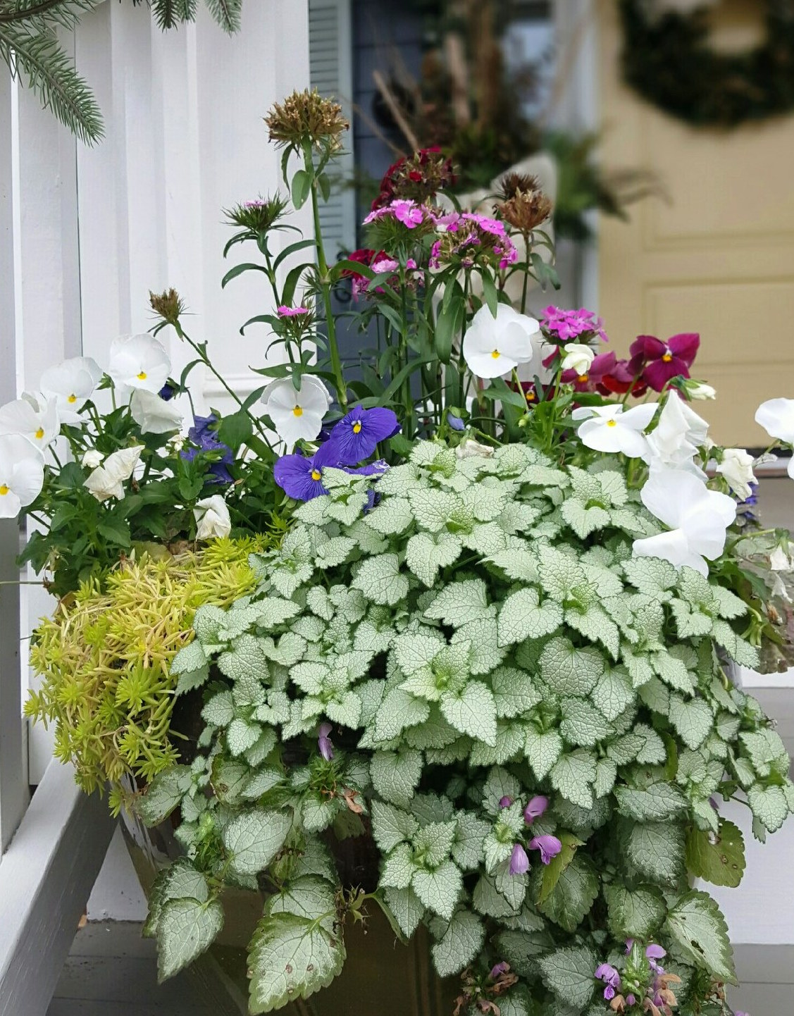 Lamiums reach a height of 8 to 12 inches with a spread of 24 inches, making them a perfect spiller plant in mixed containers.