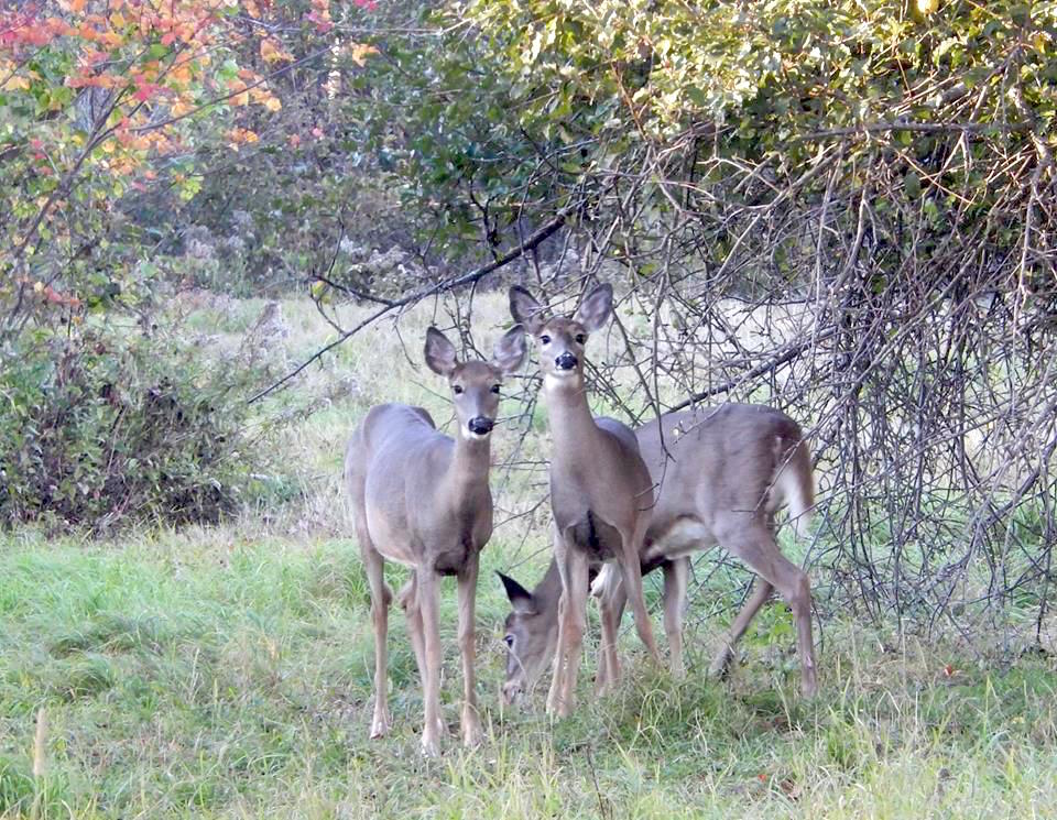 Deer are beautiful creatures, but seeing them dining on your landscape plants quickly makes their beauty fade.