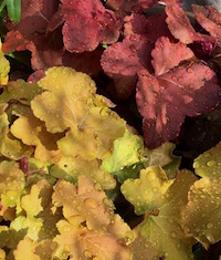 The golden-colored 'Caramel' and rust-colored 'Lava Lamp' are two hybrids of Heuchera villosa growing in the University of Georgia's Coastal Georgia Botanical Gardens in Savannah.