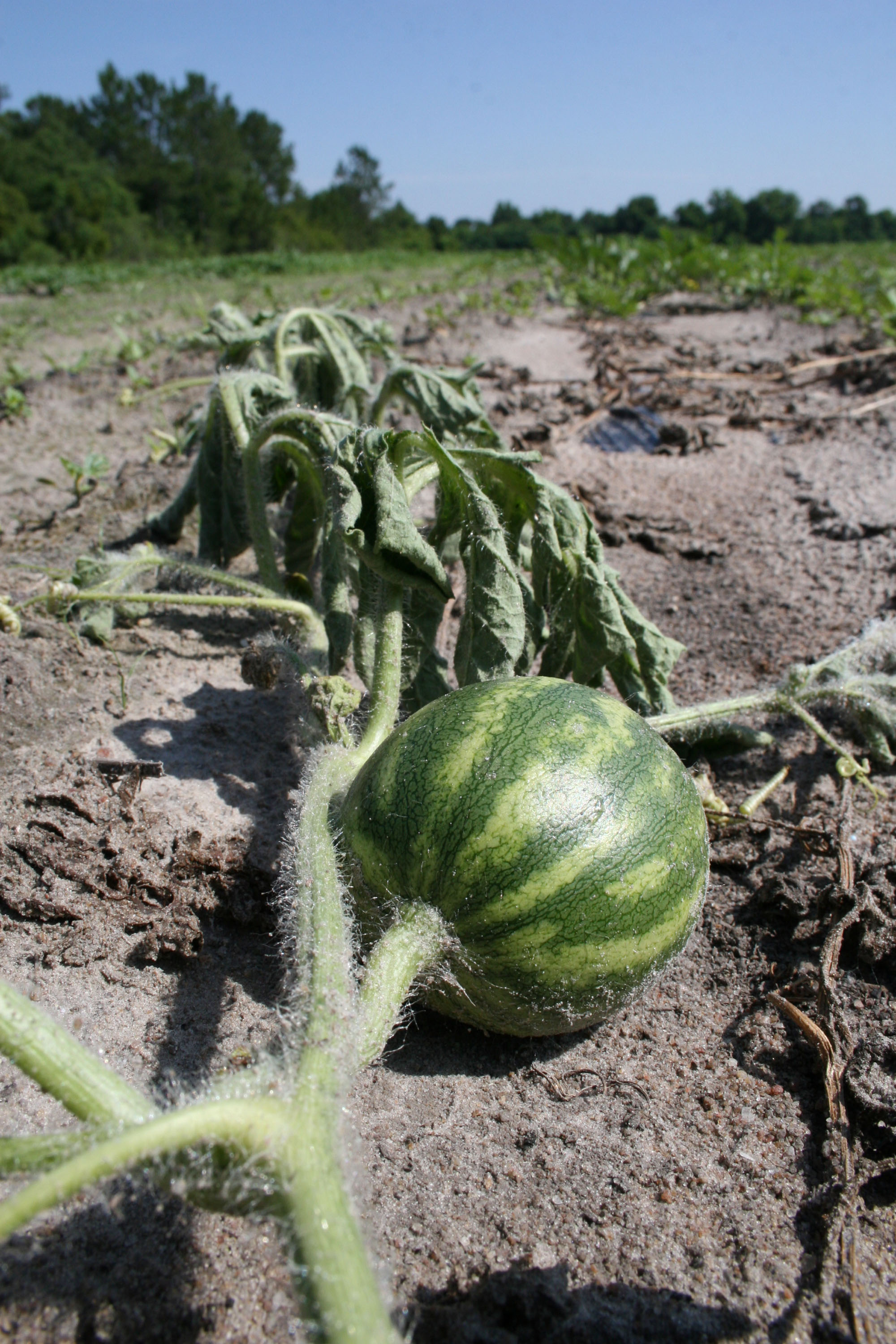 Fusarium wilt, a deadly fungal disease that lives in the soil, attacks a watermelon vine in a field in Berrien County.