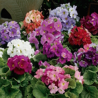 The Libre series of Primula obconica hybrids offers rare nostalgic colors.