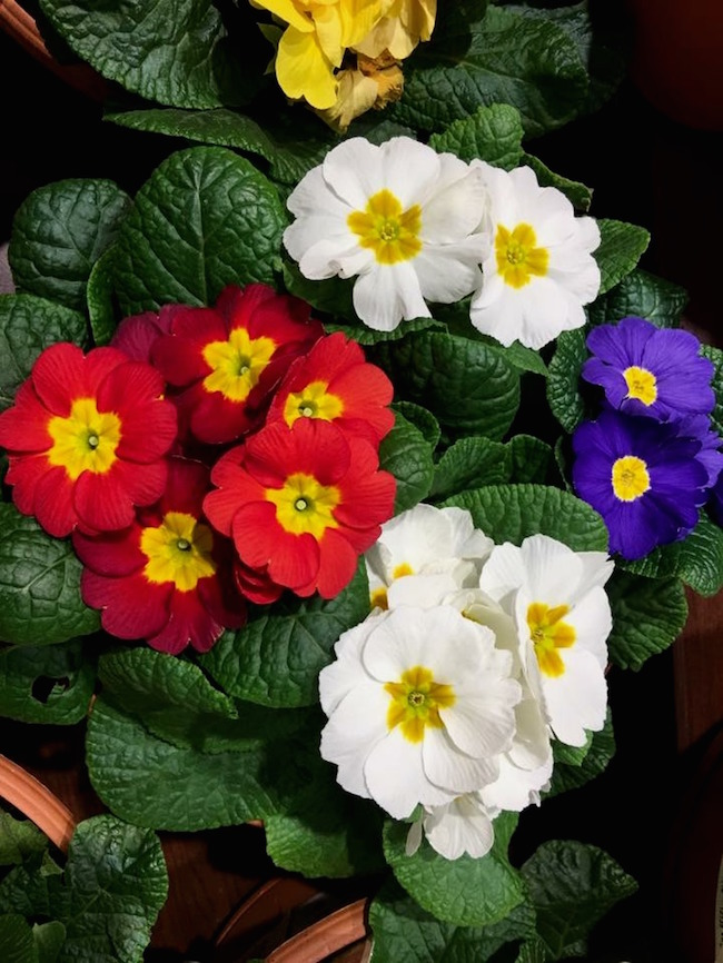 Primulas offer unbelievable color during a dreary time of the year.