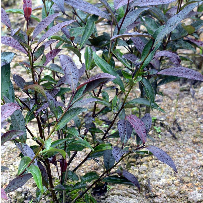 Variegated Tea Plant