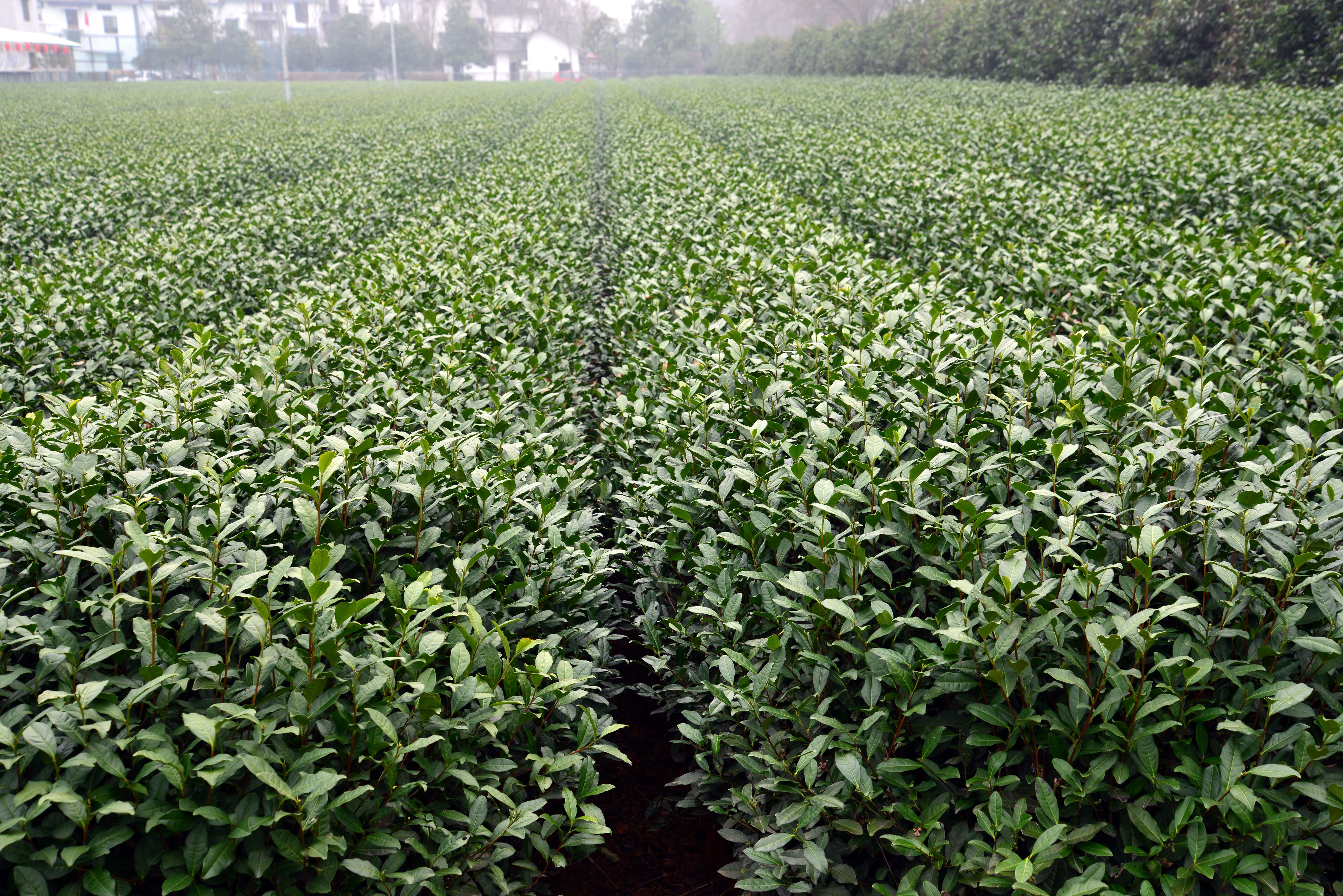 University of Georgia horticulture professor Donglin Zhang worked with a team of American and Chinese scientists in fall 2016 to help identify tea varieties that might work well in the American South. Zhang and his colleagues visited tea fields in China as part of a research trip sponsored by the USDA and the Chinese Ministry of Agriculture.