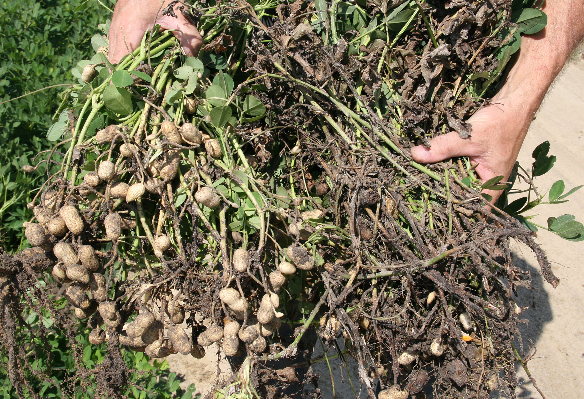 Healthy peanuts compared to peanuts infected with white mold disease.
