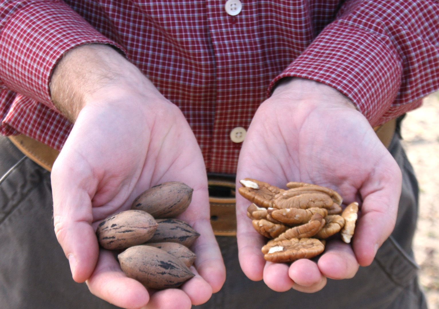 Pecans being researched on the UGA Tifton campus in 2014.
