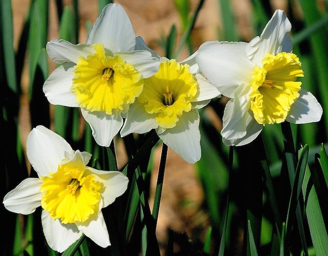 'Ice Follies' daffodils return faithfully each year to the Coastal Georgia Botanical Gardens in Savannah, Georgia.