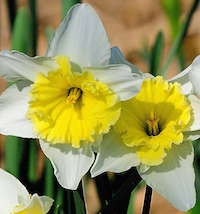 'Ice Follies' daffodils return faithfully each year to the Coastal Georgia Botanical Gardens in Savannah, Georgia.