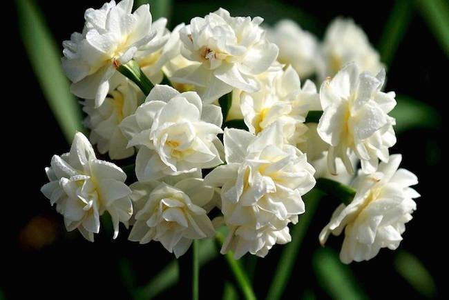 Erlicheer Narcissus