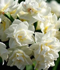 'Erlicheer,' a double flowered tazetta narcissus, brings out the cameras as quickly as selections with larger trumpets.