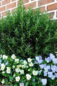Rosemary makes a terrific center or tall plant in mixed containers. The aromatic foliage does not go unnoticed. The green, fine-textured, needle-like leaves contrast with cool- or warm-season flowers like these violas.