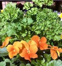 Curly parsley can be used as a 1-foot-tall filler plant in mixed containers. Its bright-green leaves just seem to bring out the color of companion flowers like these pansies.
