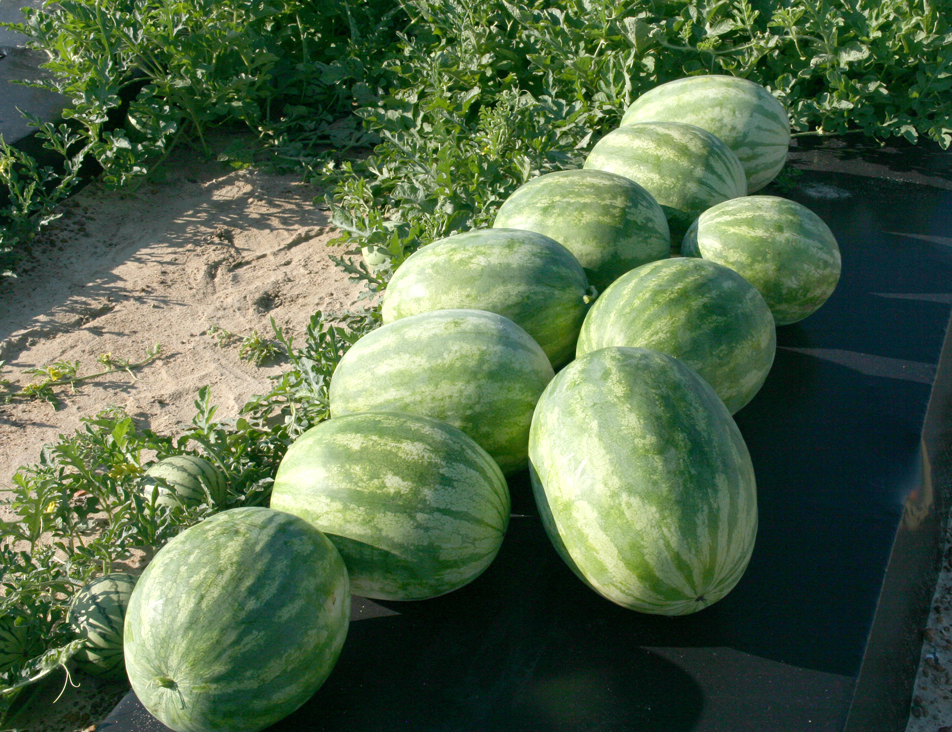 Watermelons stacked on the side of a row on a farm at the UGA Tifton campus.