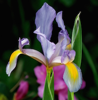 Dutch irises usually sequence well with the azalea bloom.