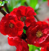 Orange Storm is a doubled-flowered quince that's cold hardy from zones 5 through 9 and are deer resistant.