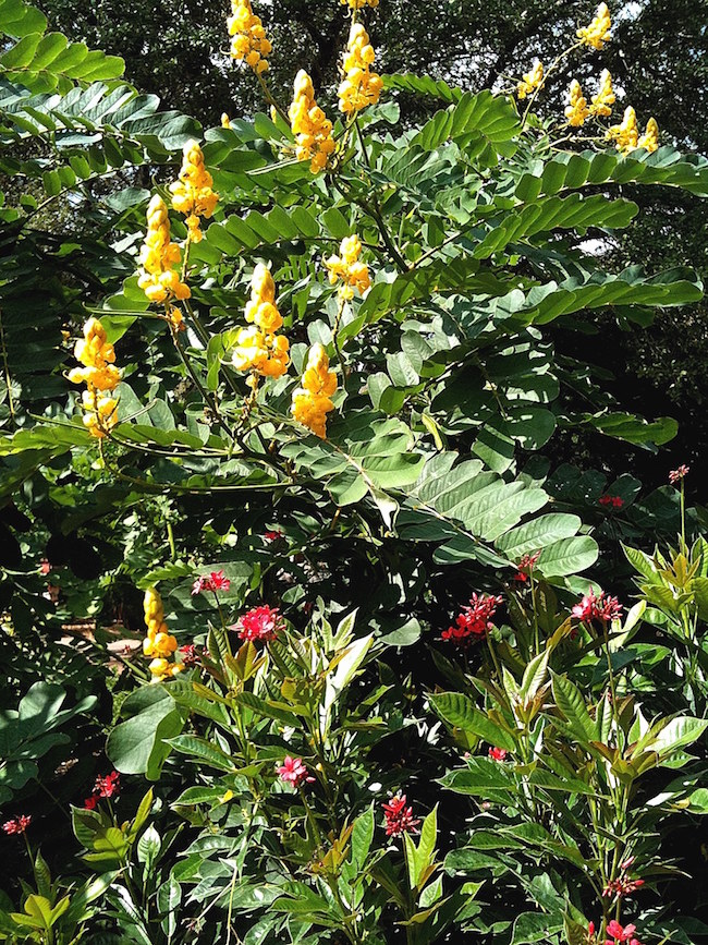 Emperor's candlestick partners well with the spicy jatropha or Jatropha integerrima. Another terrific combination could include Cuphea 'Vermillionaire.' Grow it close to the back of your border as it does grow large, up to 8 feet tall, with compound leaves that stretch out 3 feet in each direction.