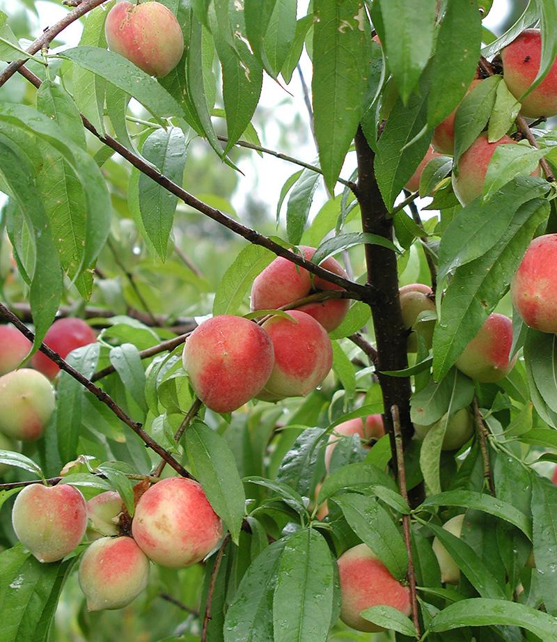 Media Newswire - Story - Peach Crop