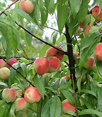 Peaches hang from a Georgia tree in this 2009 file photo.