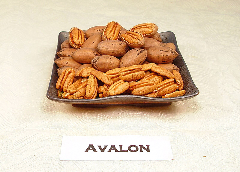 UGA's newest pecan variety, 'Avalon', in 2017. The pecan's extreme resistance to scab disease makes it desirable for pecan farmers looking to replenish their crop after Hurricane Michael.