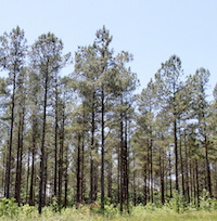 Pine trees tower above the ground on the University of Georgia's Westbrook Research Farm in Griffin, Georgia. The site will host the Agroforestry and Wildlife Field Day this September.