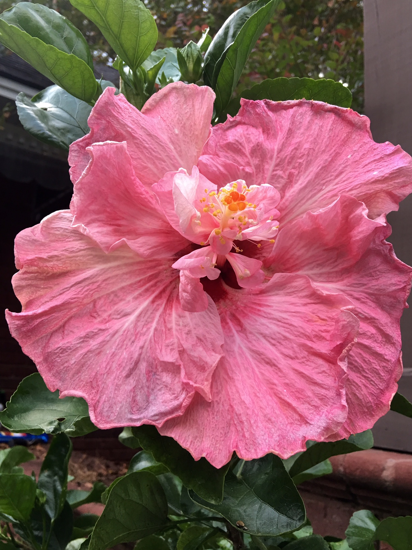 'South Pacific Sipper' hibiscus flowers can approach 9 inches in width. The plant produces flowers so large they seem to defy logic.