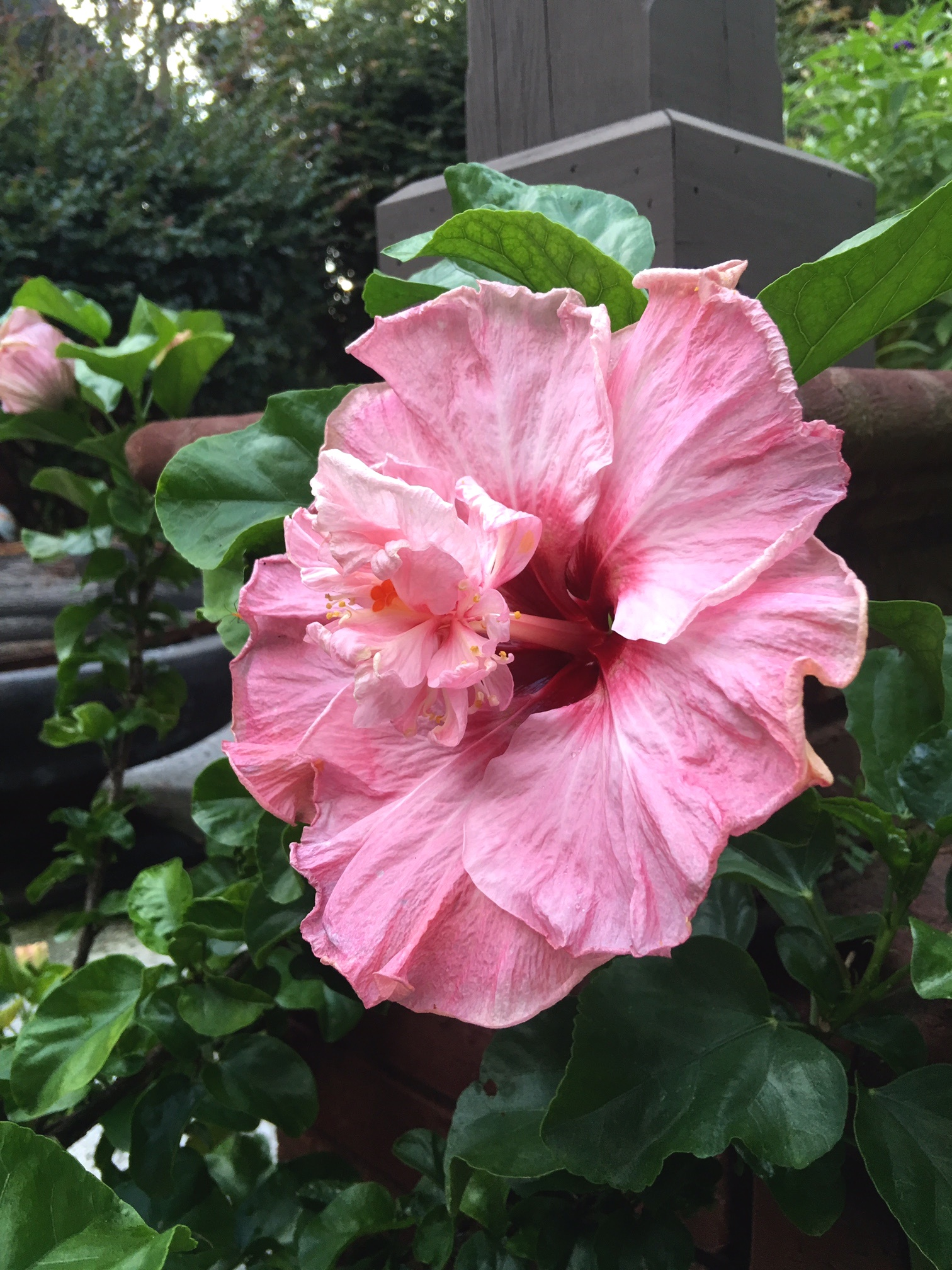 'South Pacific Sipper' is a tropical hibiscus that produces enormous blooms all summer. Hummingbirds, swallowtail butterflies and sulphurs love to visit the tropical blooms.
