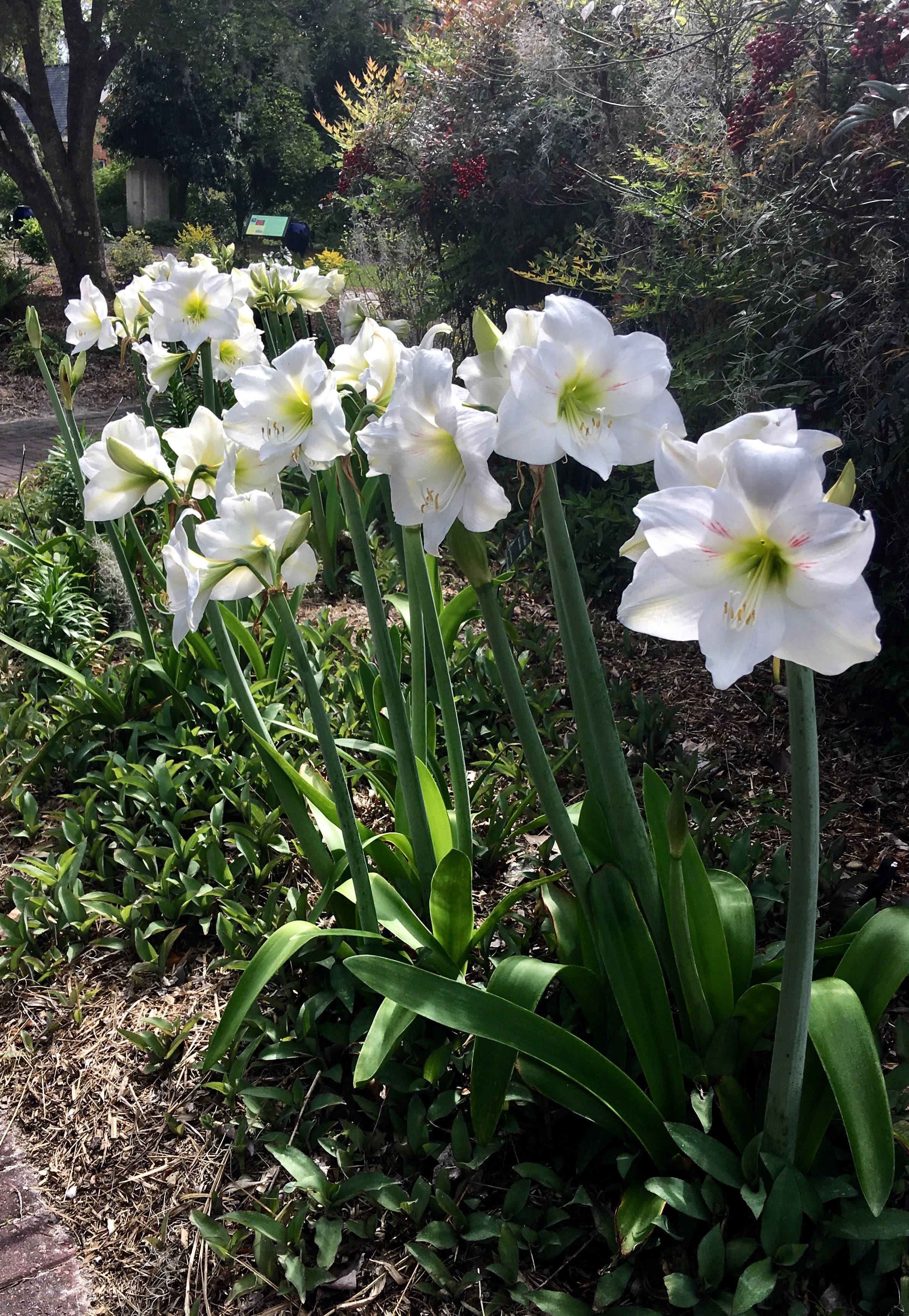 Amaryllises, for the most part, are considered bulbs for zones 8 to 10, but 'Wedding Dance' can be grown in zone 7b and possibly colder zones, according to Tony Avent with Plant Delights Nursery.
