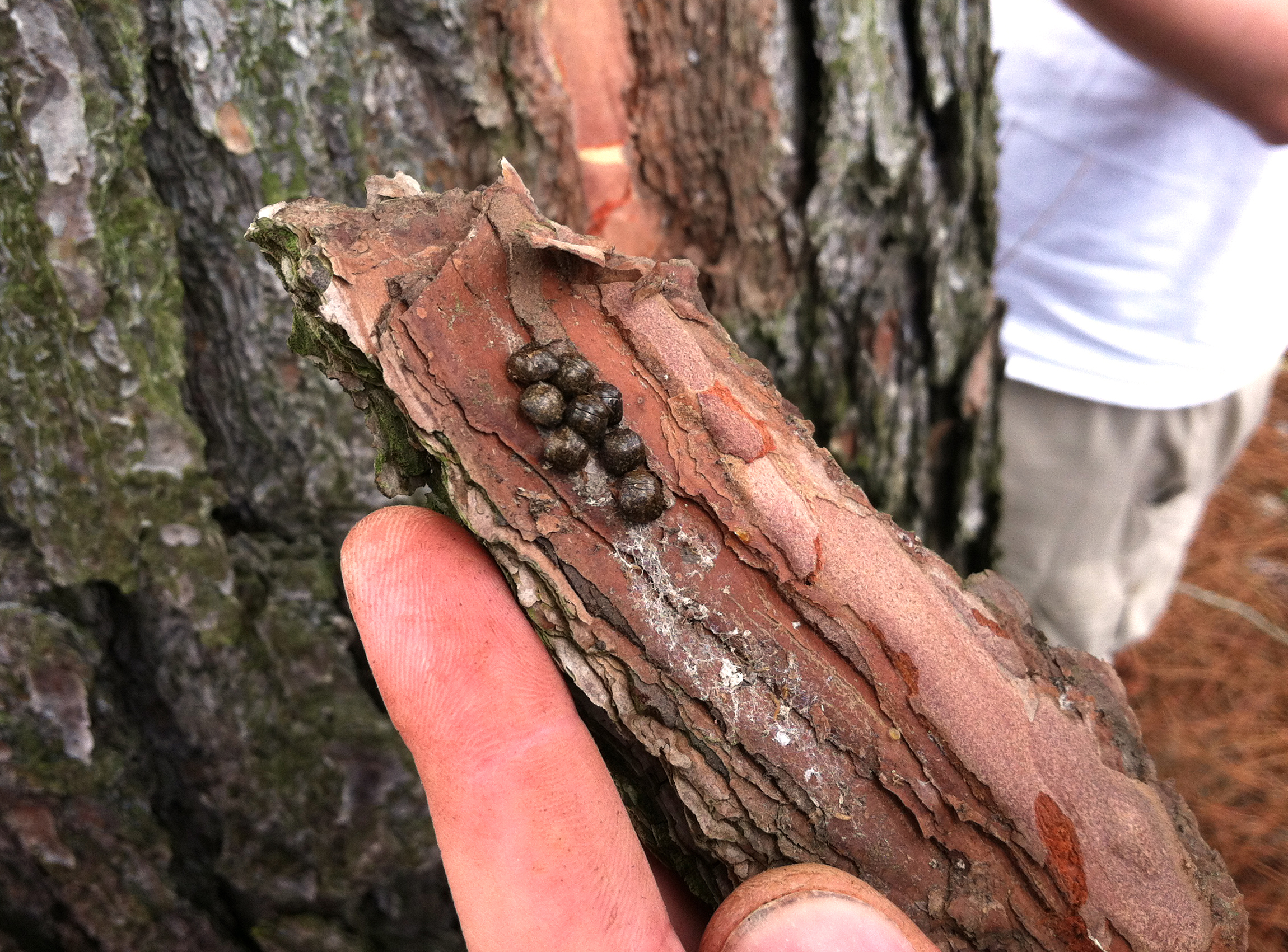 Like these kudzu bugs overwintering in bark, invasive species can reduce biodiversity and productivity, weaken local economies, and impact human and animal health.