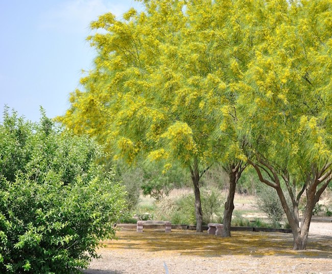 The paloverde is a drought tolerant tree with distinctive green bark monarchs and queen butterflies cousin butterflies were roosting in the retama trees waiting for the mightylinksfo