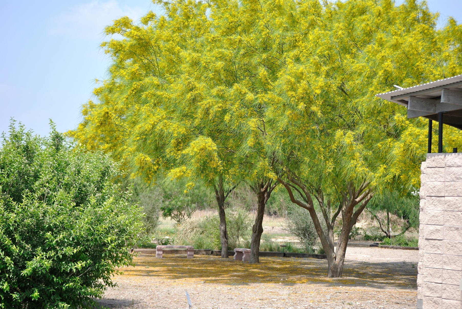 Paloverde trees in bloom at the National Butterfly Center in Mission, Texas.