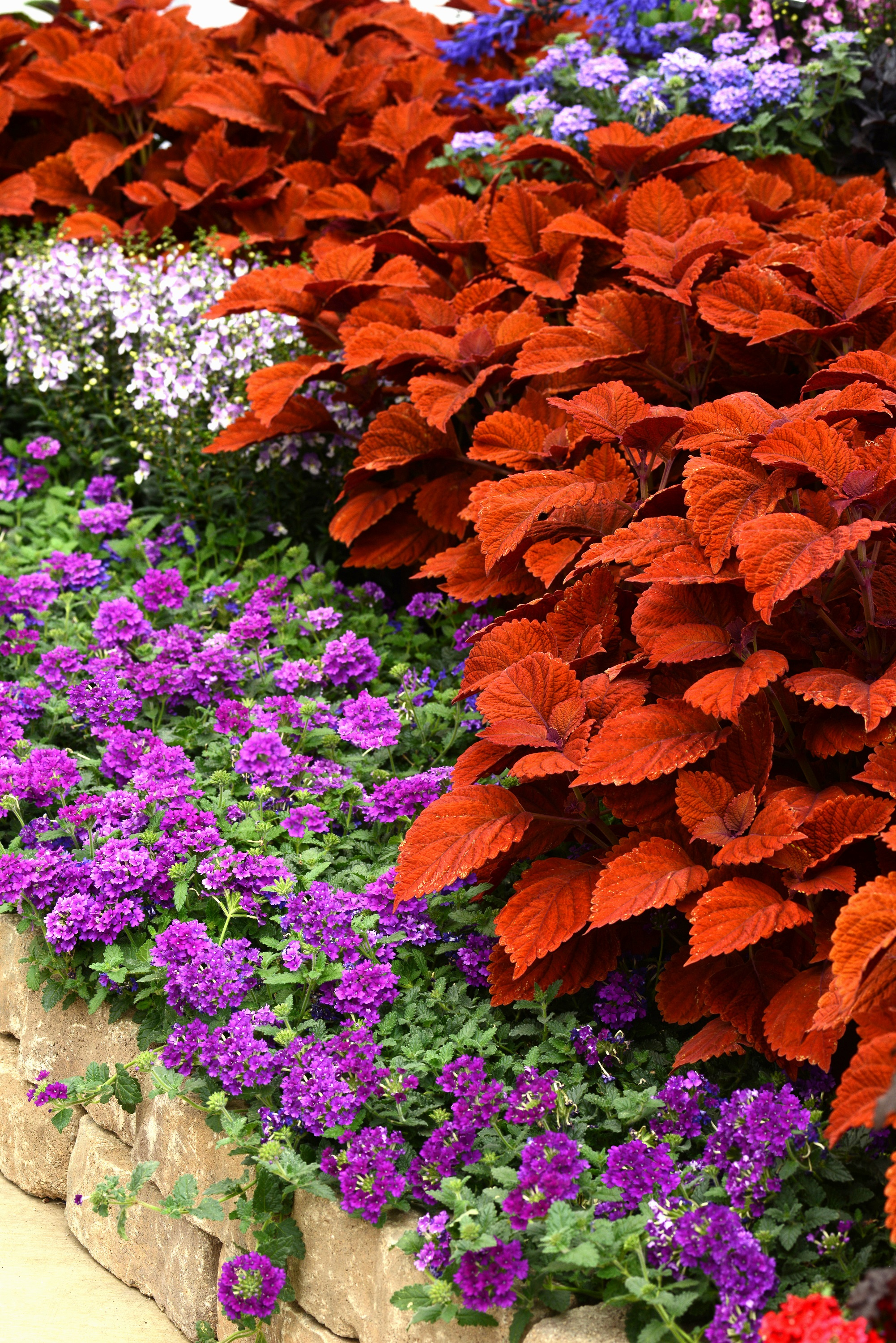'Inferno' coleus offers stunning orange leaves that look like an artist's masterpiece when combined with all shades of blue.