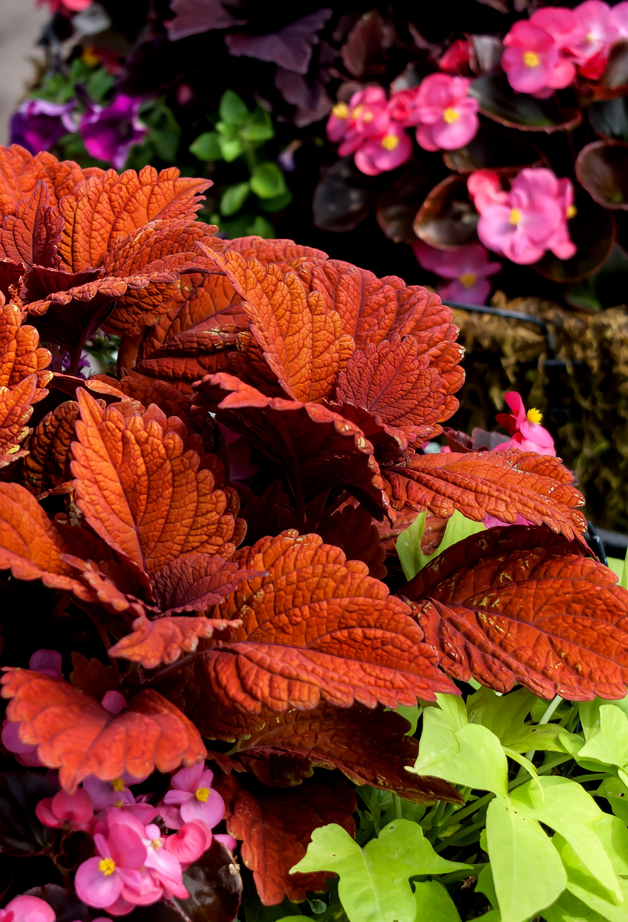 'Inferno' coleus looks stunning in the landscape or in mixed baskets and containers.