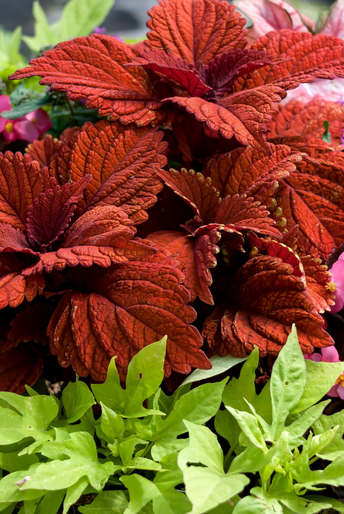 'Inferno' coleus looks striking against the lime green of this 'Sidekick' ornamental sweet potato foliage.