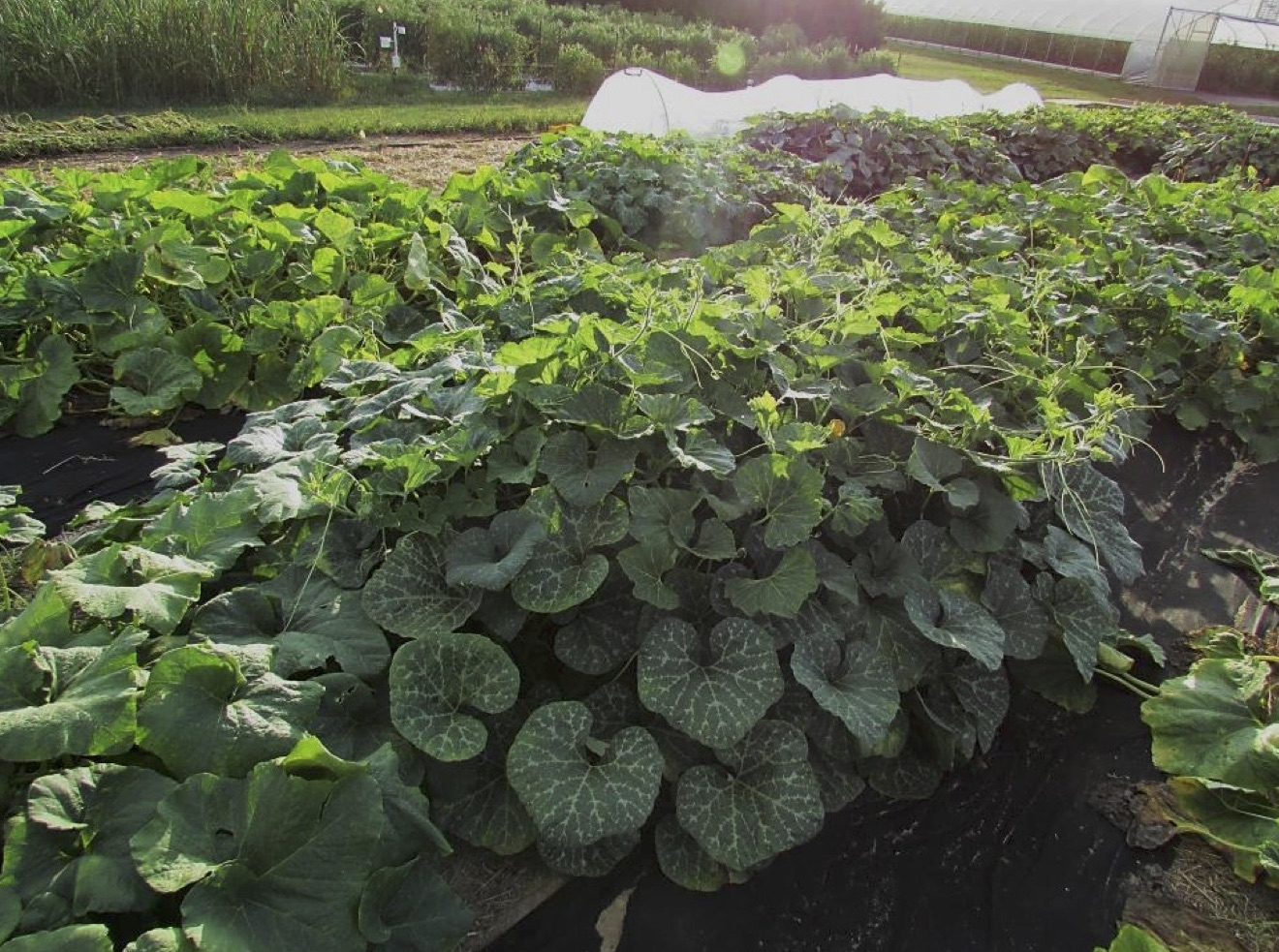 Squash plants grow in plots at the University of Georgia's Durham Horticulture Farm in Watkinsville, Georgia.