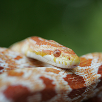 Snakes are a vital part of Georgia's ecosystem but most people don't want more snakes than necessary in their landscapes. To discourage snakes, keep landscapes well trimmed, clean and free of food or debris that could attract mice, rats or other snake prey. This albino corn snake is rare but native to Georgia.