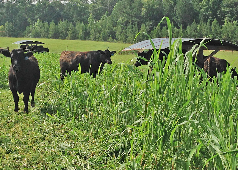 Steers graze on sorghum-sudangrass hybrid forage at the UGA Eatonton Beef Research Unit as part of a 2014 study on grass-finished beef forages.