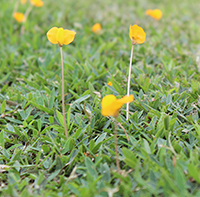The UGA Tifton campus released the 'Cowboy' perennial peanut, which produces robust, yellow blooms.
