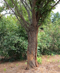 Split bark, or vertical cracks along the lower tree stem of young trees, most commonly occurs on thin-barked trees like this plum tree. Large cracks can become long-term open wounds that are more susceptible to wood-boring insects, fungal diseases and wood decay.