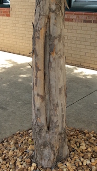 Trees planted too close to parking lots or driveways, like this maple, can suffer from sunburn as a result of the sunlight radiating off the pavement.