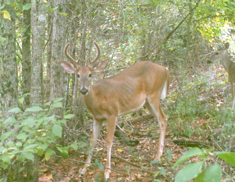 A deer in its second year, a yearling, is caught by the lens of a wildlife camera. His small rack of antlers has grown over the past year. Antlers have the fastest growing tissue known to man. With the right nutrition, a buck can grow an excess of 200 inches of bone on his head in a matter of 120 days.