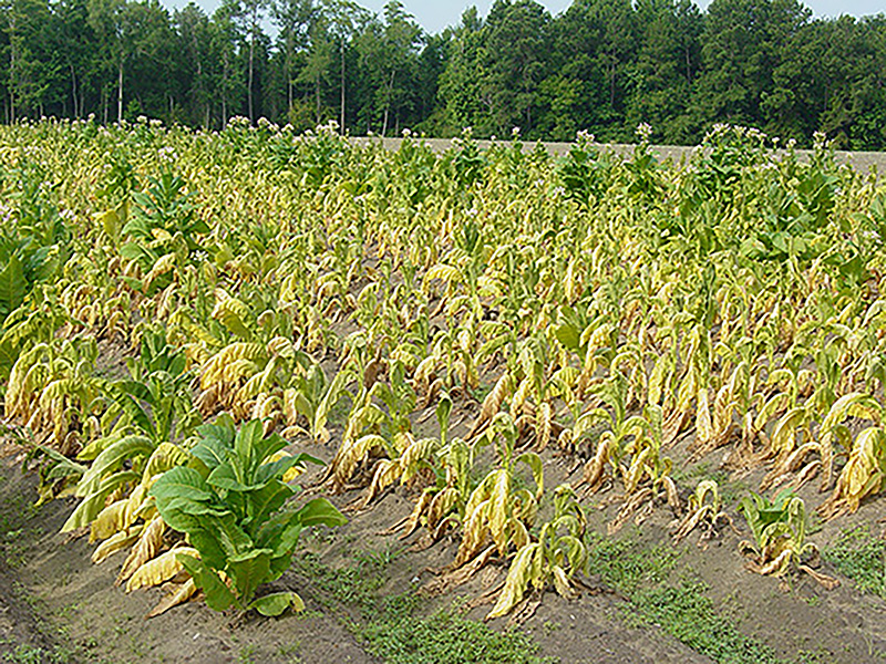 Black shank disease badly affected this tobacco field in Coffee County, Georgia.