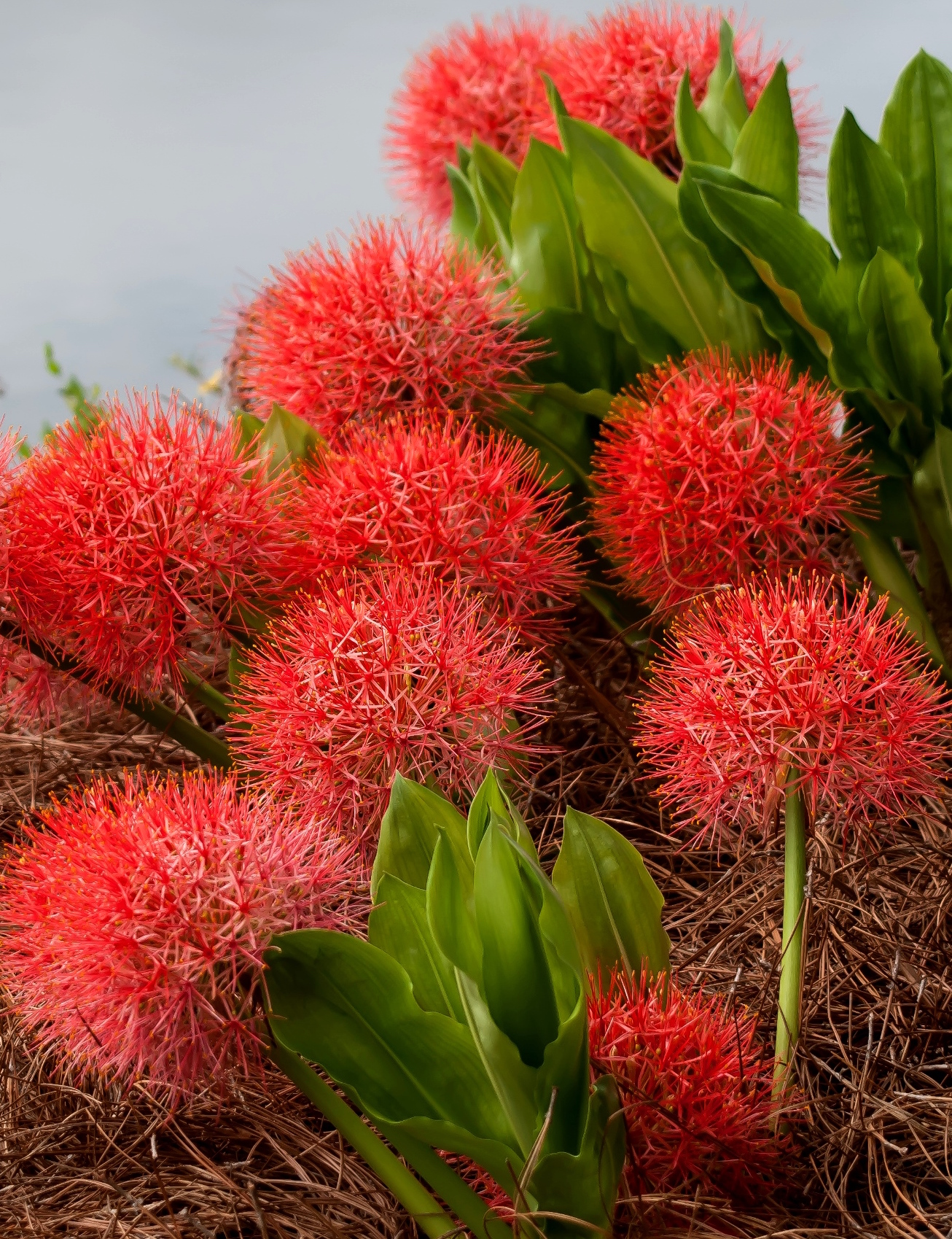 The African blood lily bulb should be planted deep enough so that the top of the neck is above the soil surface. Cluster the bulbs in a group of five to seven, spaced 10 to 12 inches apart to create a dazzling, traffic-stopping show.