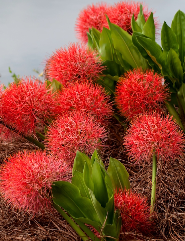 Blood Lily