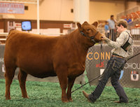 Despite the fact that he dislocated his shoulder the first day of the event, 15-year-old Tyler Griffeth continued to participate in the 2016 Houston Livestock Show and Rodeo. This was a sign of his perseverance and tenacity to see his projects through to the end. Each year, some 1,600 4-H and FFA students in Georgia participate in livestock shows that involve goats, lambs, steers, heifers and swine. Youth who participate in livestock programs have to feed their animals every day, work with them, get them trained to show and, finally, groom them and get them ready to be put in the ring. They quickly learn that taking care of an animal requires a lot of responsibility.