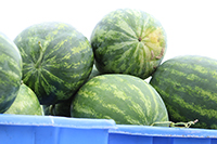Watermelons harvested at the UGA Tifton campus. (file photo)