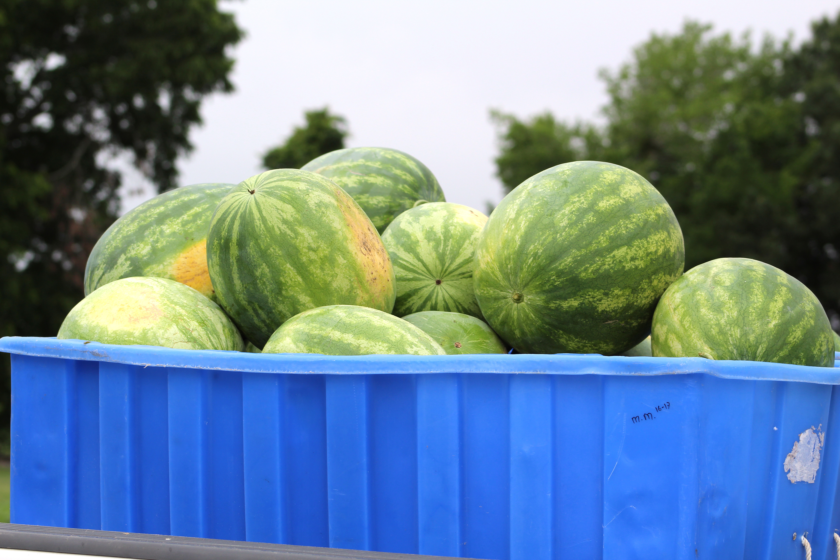 Watermelons sit in a truck after being harvested on the UGA Tifton campus.