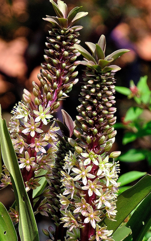 The 'Oakhurst' pineapple lily sports burgundy blushes.