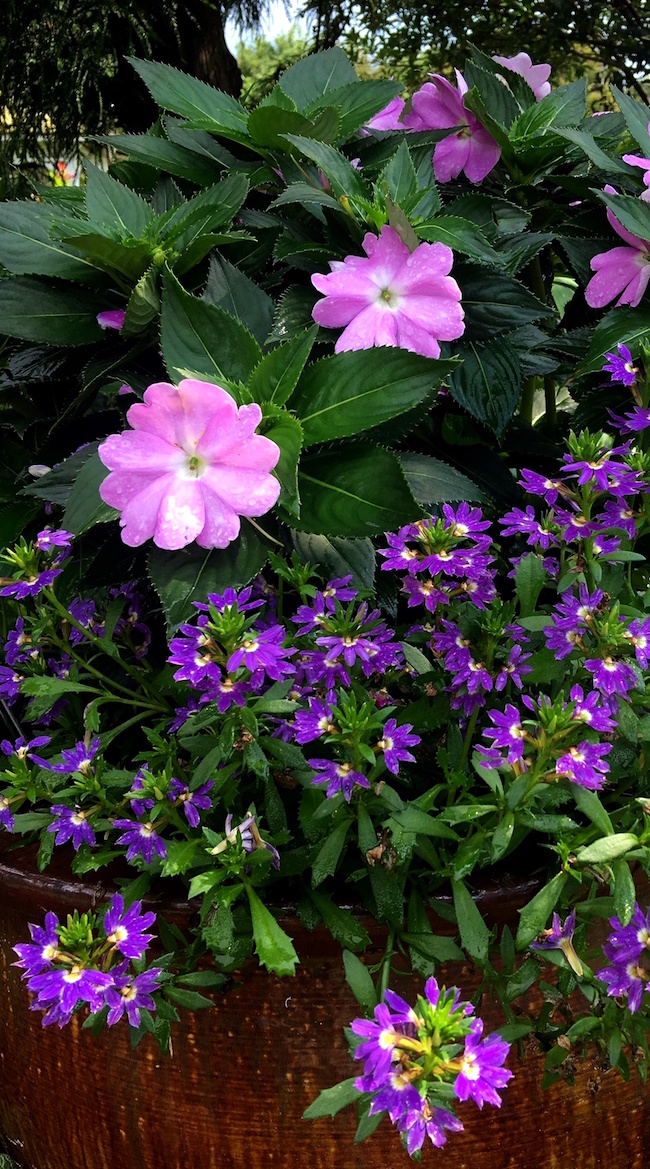 In the landscape, 'Purple Haze' scaevola works well with white pentas and pink 'Telstar' dianthus. In this photo, it makes a stunning partner for lavender SunPatiens and 'Gold Mound' duranta.