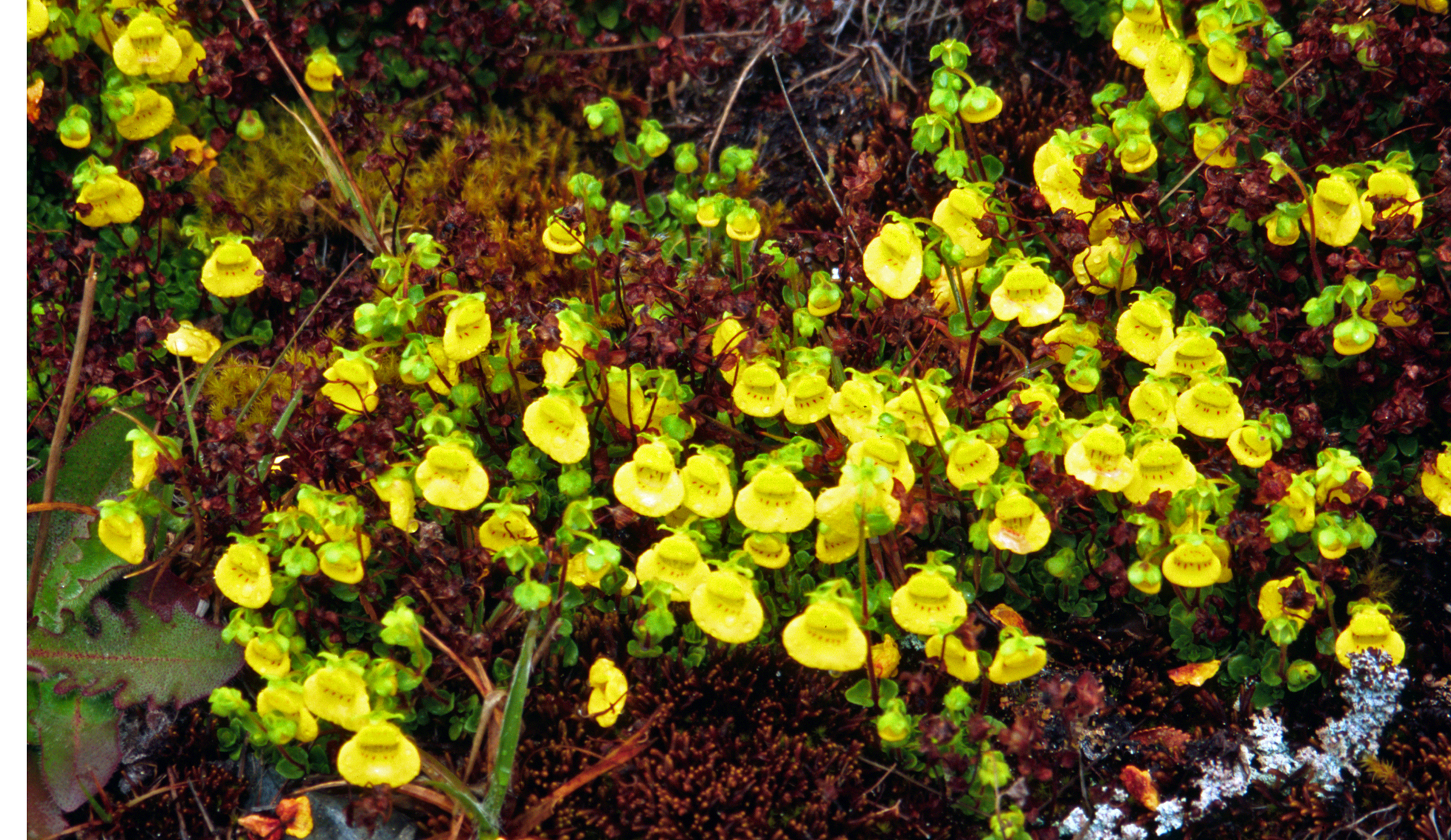 (William M. Ciesla/Forest Health Management International/Bugwood.org) The yellow version of the pocketbook plant.